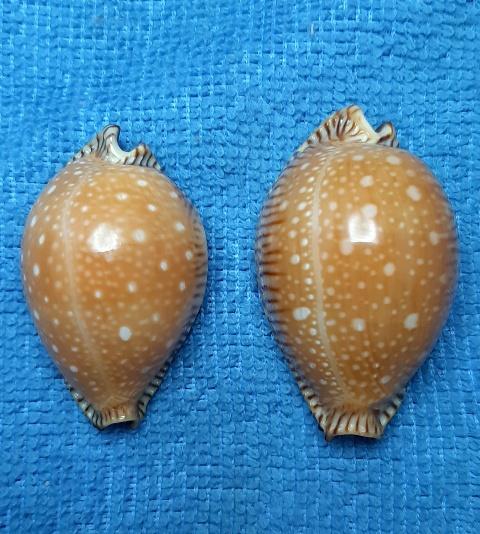 Perisserosa guttata surinensis - (Raybaudi, 1978) 20200534