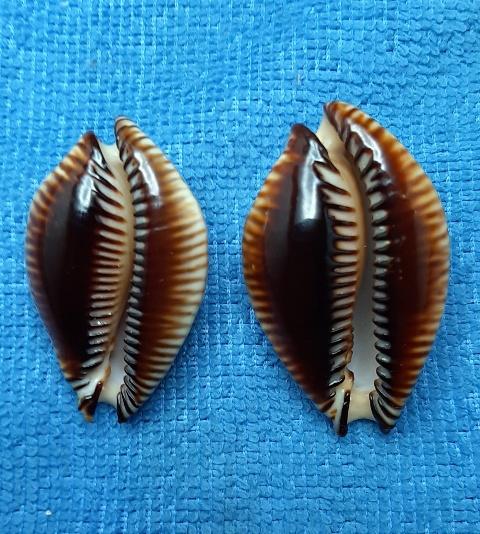 Perisserosa guttata surinensis - (Raybaudi, 1978) 20200535