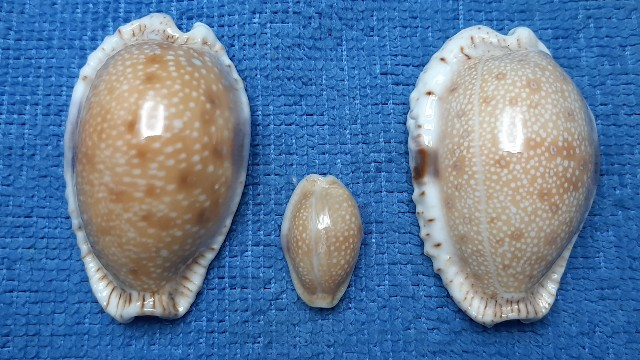 Naria erosa chlorizans f. lactescens - Dautzenberg & Bouge, 1933 20200539