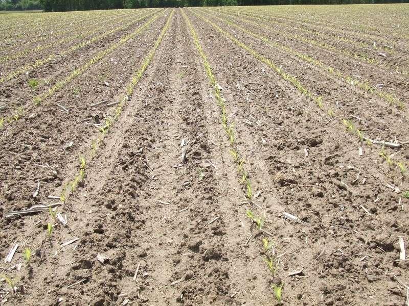 semis de maïs 2013  Dscf1611