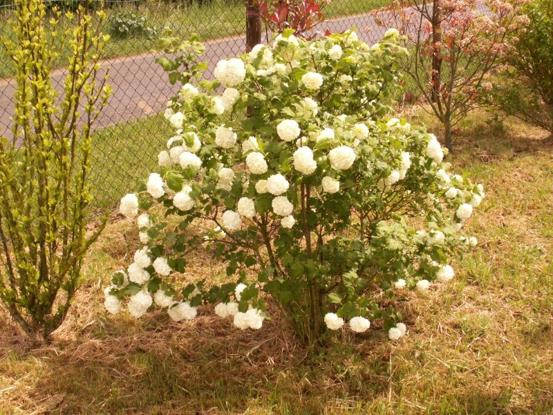 Viburnum opulus, Viorne obier, Boule de neige - Page 2 Pict1420