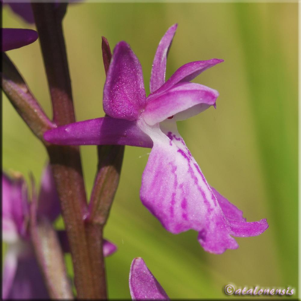 Anacamptis palustris ( Orchis des marais ) Salses17
