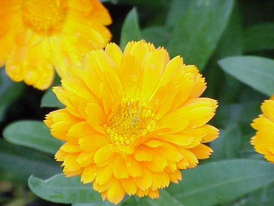 12 herbes médicinales à connaître absolument Herbes11
