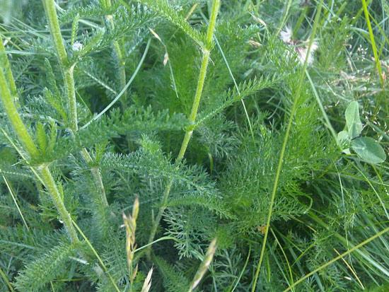 12 herbes médicinales à connaître absolument Herbes20