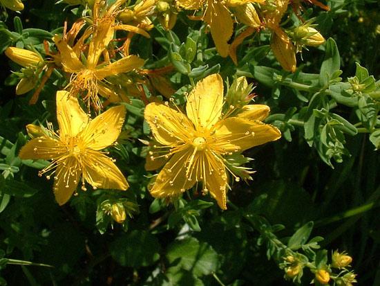 12 herbes médicinales à connaître absolument Herbes21