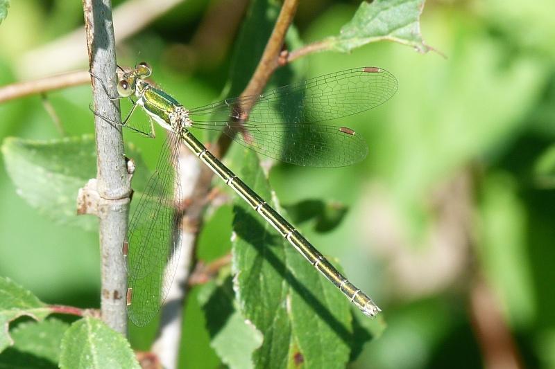 Lestidae Trévignon (29) Leste10