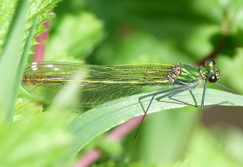 Mr et Mme Calopteryx splendens, P1280813