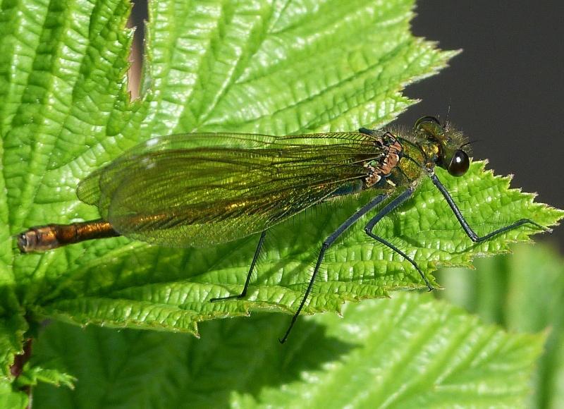 Mr et Mme Calopteryx splendens, P1280815