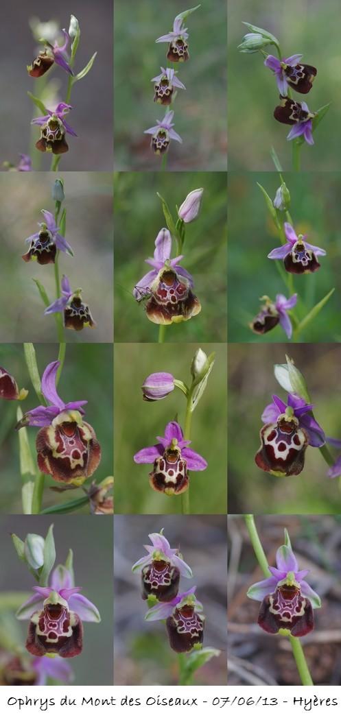 "Ophrys fuciflora subsp montis-aviarii ""O Mont des Oiseaux"" Collag10"