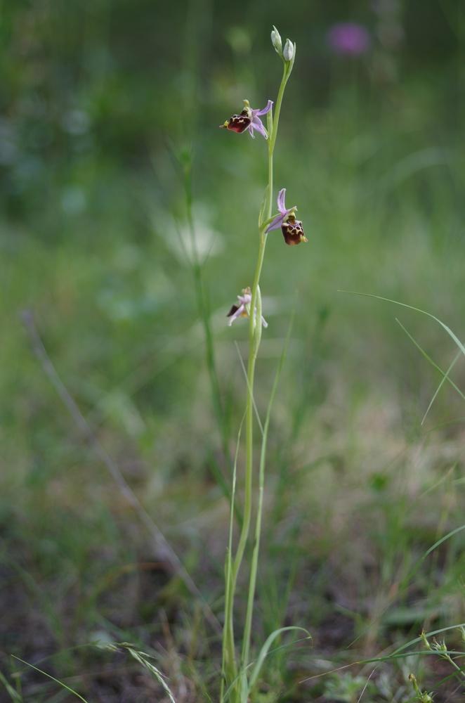 "Ophrys fuciflora subsp montis-aviarii ""O Mont des Oiseaux"" Imgp1822"