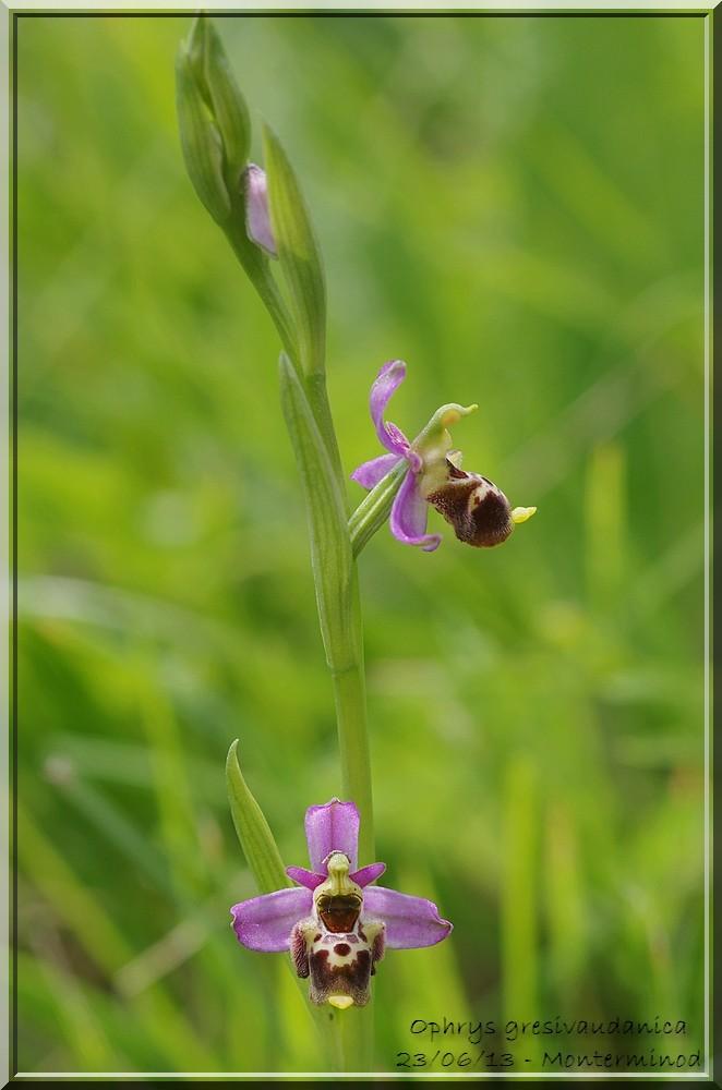 Ophrys gresivaudanica ( Ophrys du Grésivaudan ) Imgp2622