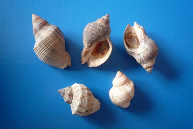 Stramonita canaliculata - Gray, 1839 Haemas10