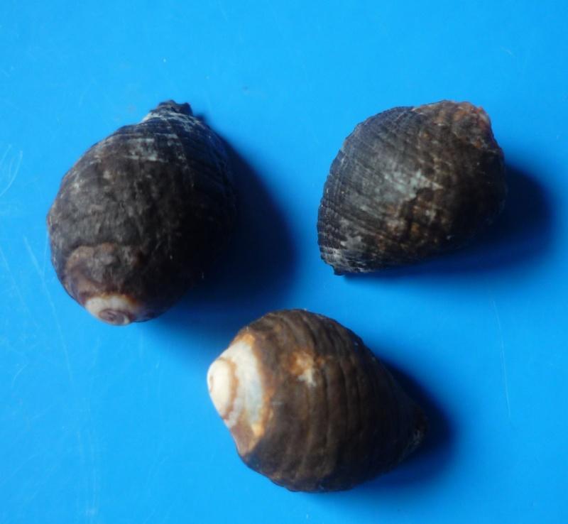 Morula mutica - (Lamarck, 1816) Mutica10