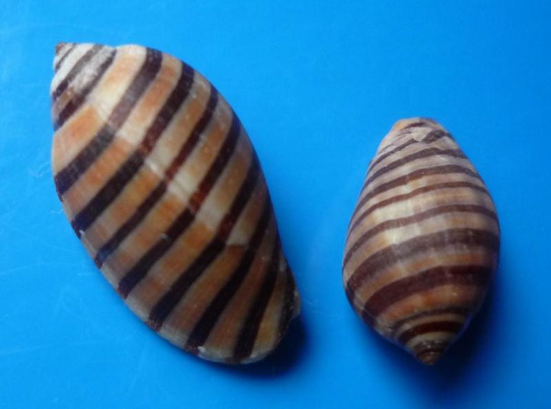 Vexilla vexillum - (Gmelin, 1791) Vexill10