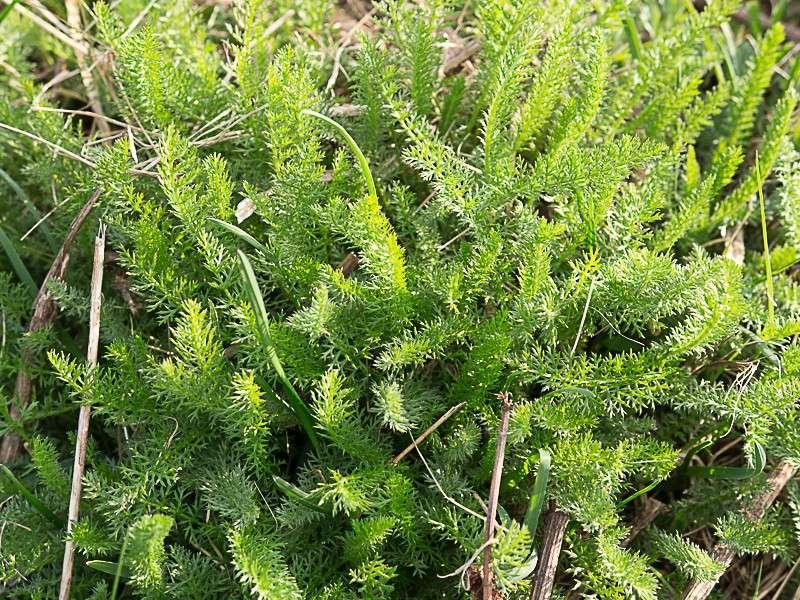 Découverte des plantes printanières en sous-bois de feuillus Achila10