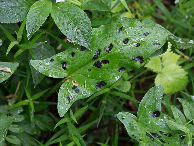 Découverte des plantes printanières en sous-bois de feuillus Arum_m10