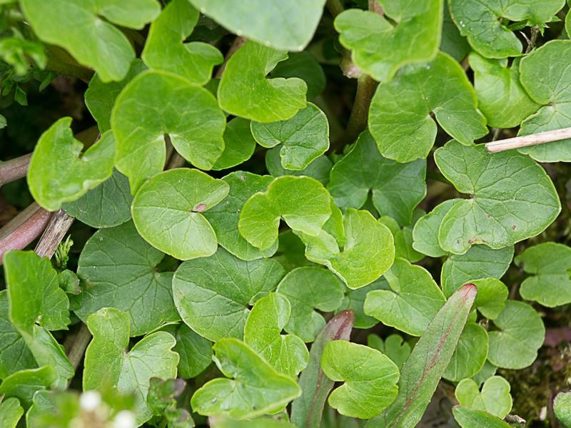 Découverte des plantes printanières en sous-bois de feuillus Ficair11