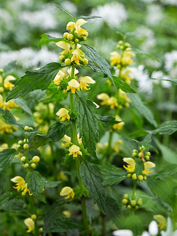 Découverte des plantes printanières en sous-bois de feuillus Lamier10