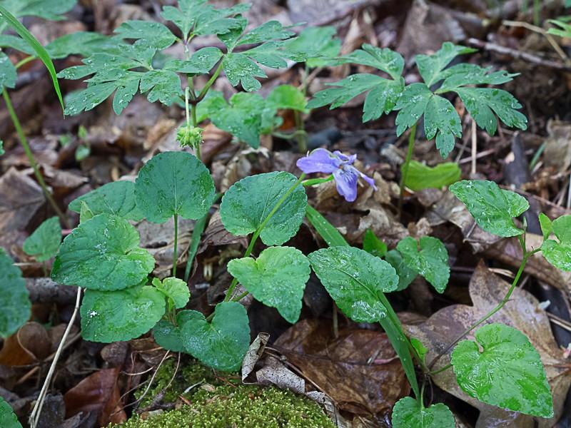 Découverte des plantes printanières en sous-bois de feuillus Violet10