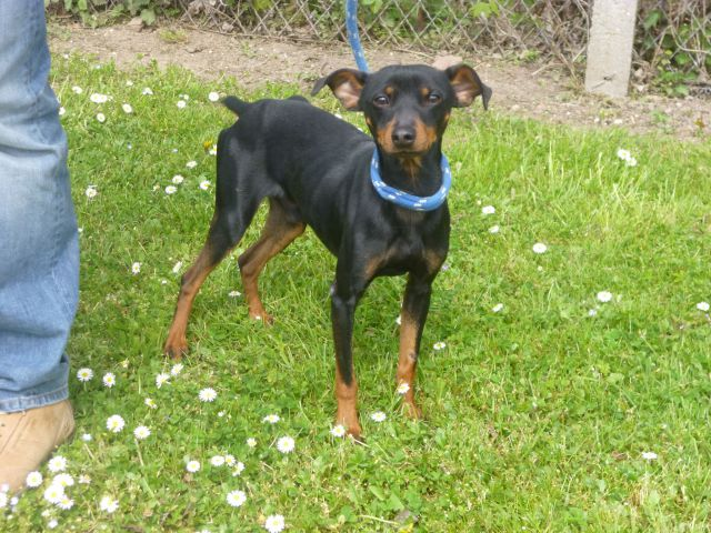 Urgent adoption Fanette pinscher de 1an et demi.(62) 031_7710