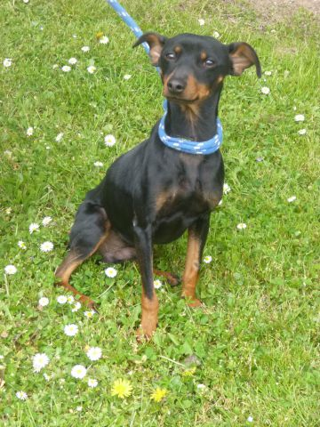 Urgent adoption Fanette pinscher de 1an et demi.(62) 035_7410