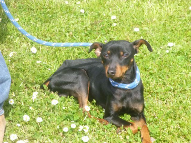 Urgent adoption Fanette pinscher de 1an et demi.(62) 039_5010