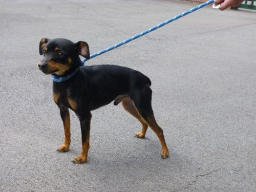 Adoption Volcan x pinscher né le 20/07/2011.(78) 500_ff10