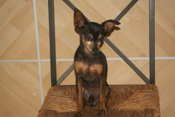 Adoption Balto pinscher adulte noir et feu (44) Cache_10