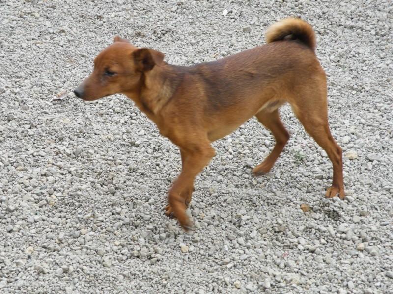 Adoption Toby Pinsher nain né le 9 aout 2012(54) Dscf8610