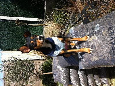 Adoption Savana x pinscher femelle d'un an (75) Image10