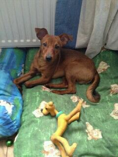 Adoption Toby Pinsher nain né le 9 aout 2012(54) Img_0510