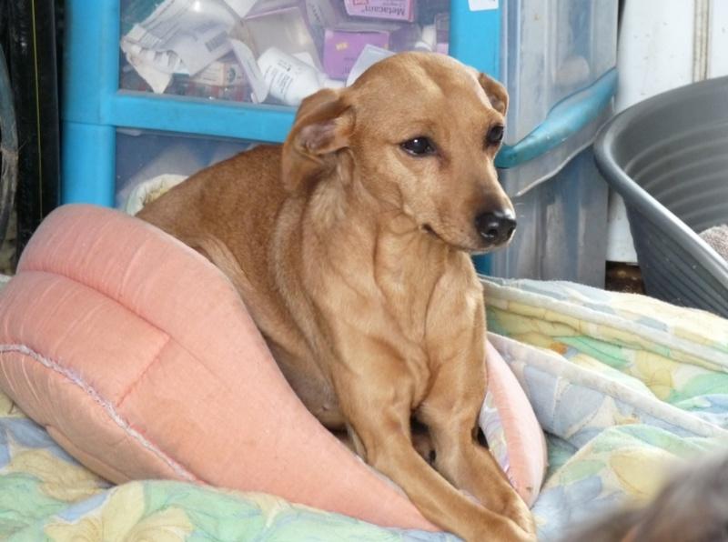 Adoption T'POL femelle pinscher fauve de 8 ans et 9 mois (59) P1180110