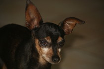 Adoption Balto pinscher adulte noir et feu (44) Thumb_10