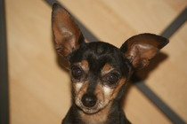 Adoption Balto pinscher adulte noir et feu (44) Thumb_11