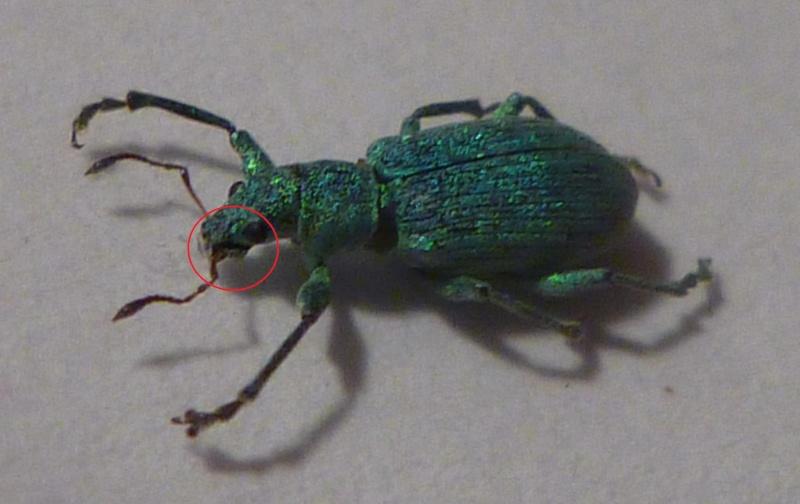 [Curculionidae] Quel est ce petit insecte ? P1030710