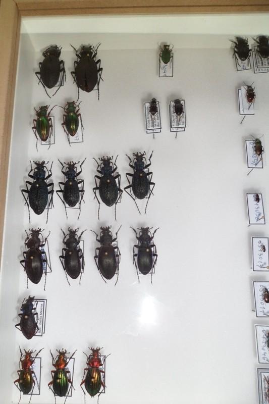 Présentation des collections Entomologiques - Page 6 Sam_4915