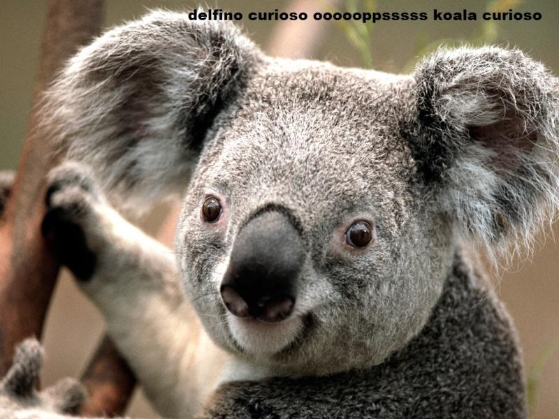 viandante storico Koala10