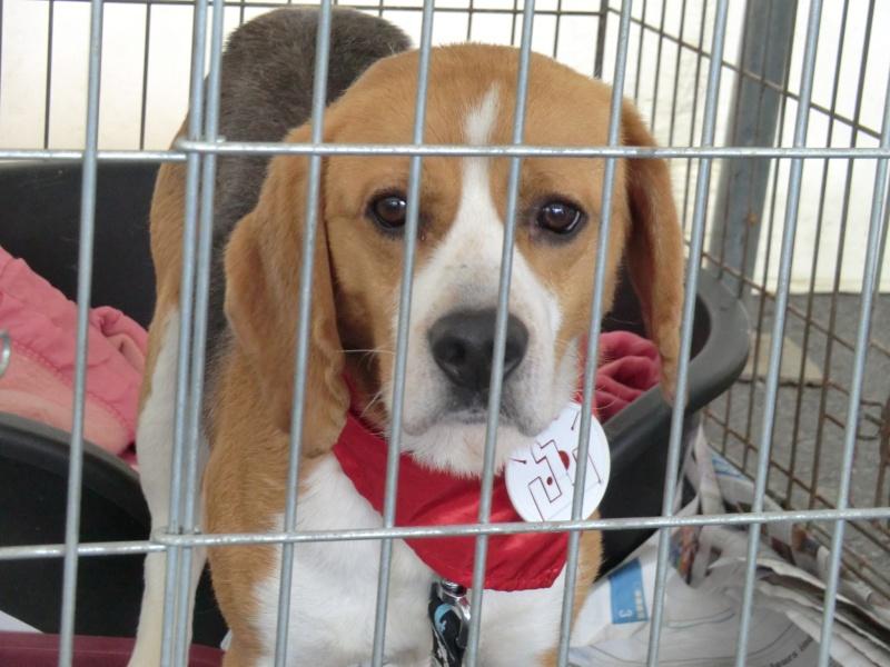 FREEDOM - Beagle mâle de 3 ans ( 59 ) Cimg9349