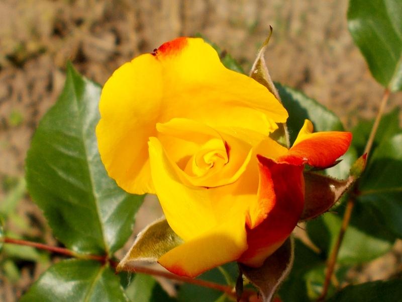 Kübelpflanzen - Seite 4 Rosenk10