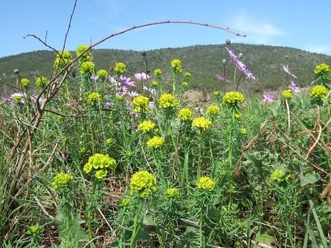 Euphorbia cyparissias - euphorbe petit cyprès Dscf3410