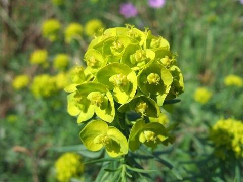 Euphorbia cyparissias - euphorbe petit cyprès Dscf3411