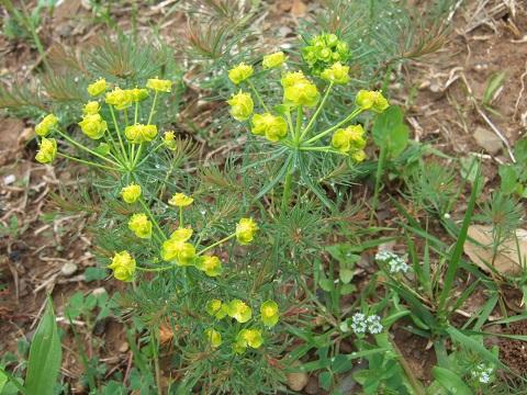 Euphorbia cyparissias - euphorbe petit cyprès Dscf3510