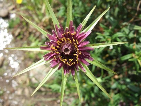 tragopogon - Tragopogon porrifolius subsp. australis - salsifis du midi Dscf3610
