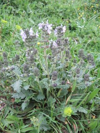 Salvia verbenaca - sauge à feuille de verveine Dscf3716