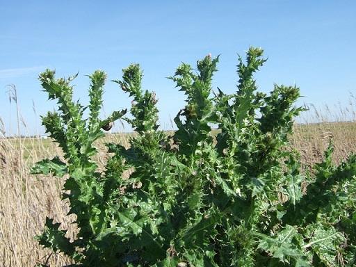 Carduus tenuiflorus - chardon à petits capitules Dscf3914