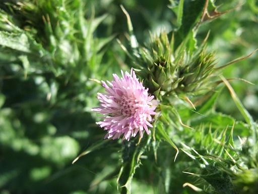 Carduus tenuiflorus - chardon à petits capitules Dscf3915