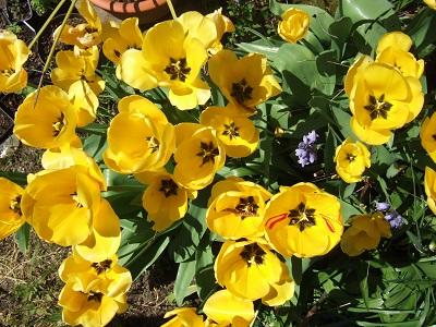 Tulipa - grands hybrides - tulipes chics et kitch (sections 1 à 11) - Page 5 Dscf4010