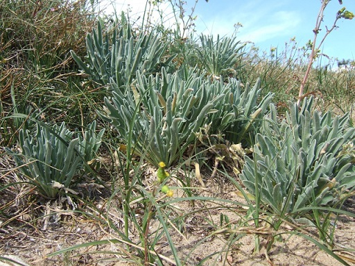 Matthiola sinuata - giroflée des dunes Dscf4118