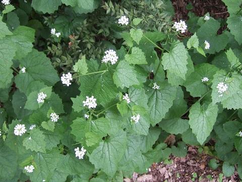 Alliaria petiolata - alliaire Dscf4223