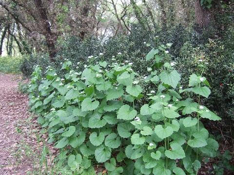Alliaria petiolata - alliaire Dscf4224
